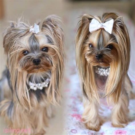 tea cup yorkie hair cuts 191 best images about yorkie haircut guide on pinterest
