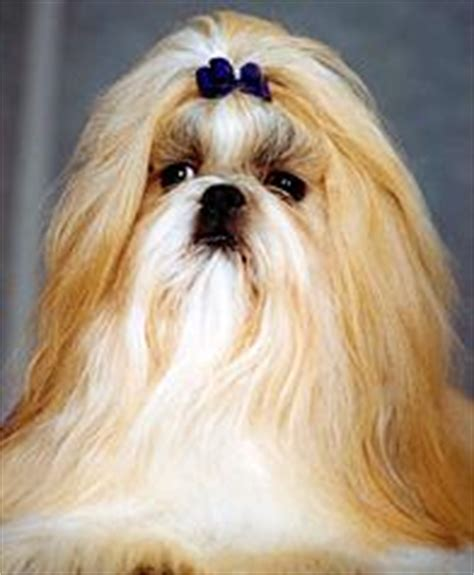 shih tzu habits australian breeds gallery breeds pedigree