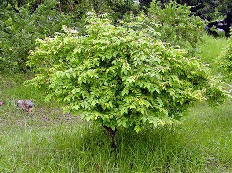 carambola fruit tree starfruit carambola world crops database tropical fruits