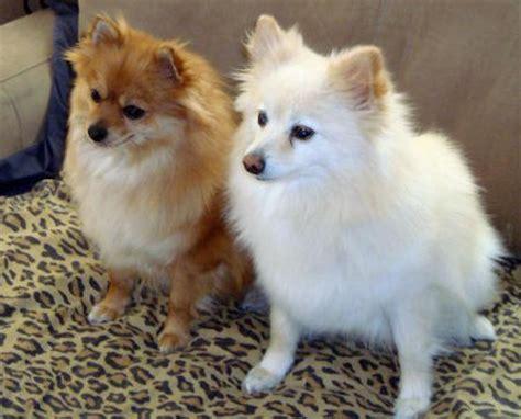 snout pomeranian the pomeranian dogs daily puppy