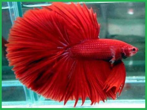 Makanan Terbaik Ikan Cupang Hias macam macam kolam taman ngasih