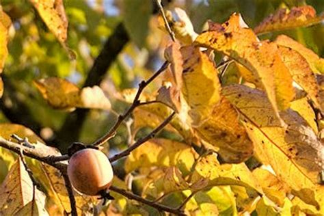 fruit trees in oklahoma oklahoma persimmons 101 dirt chronicles
