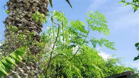 Teh Moringa california gardening moringa leaves pods harvest health benefits 2 recipes