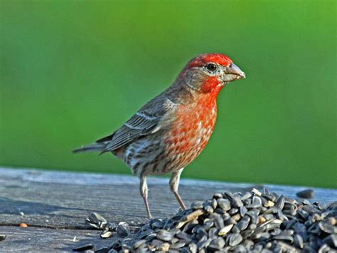 take our common backyard birds song quiz