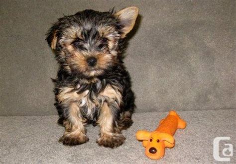 black and brown yorkie black and brown tarn tea cup yorkie puppies for sale in winnipeg manitoba classifieds