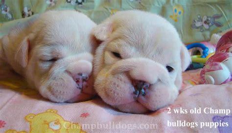 newborn bulldog puppies chbulldogs bulldog pics