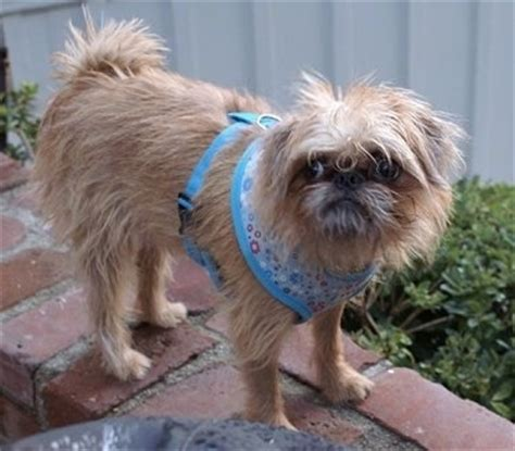 brussels griffon pug mix brug breed information and pictures