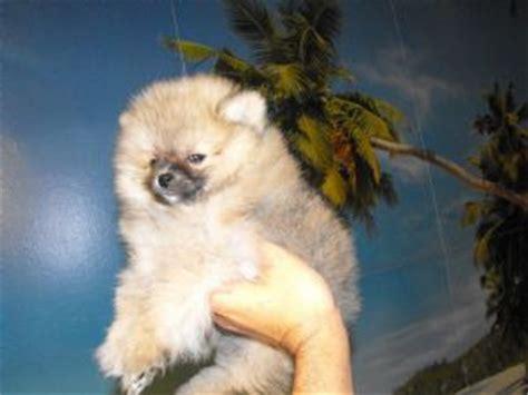 pomeranian breeders iowa pomeranian puppies in iowa