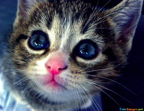 beautiful kittens beautiful kitten with blue and pink nose cutest
