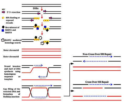 double dna break repair via homologous recombination hr
