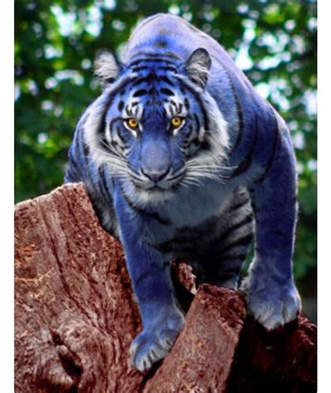 Blue Tiger 25 best ideas about blue tigers on tigers