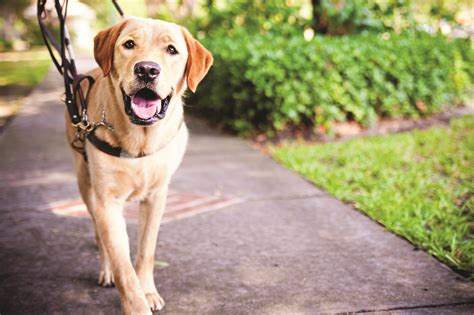 dogs walkthrough chilese partners with southeast guide dogs