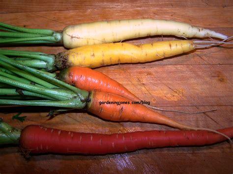 original color of carrots 4 colorful carrots gardening jones