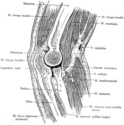 Sagittal Section Of by Sagittal Section Of The Clipart Etc