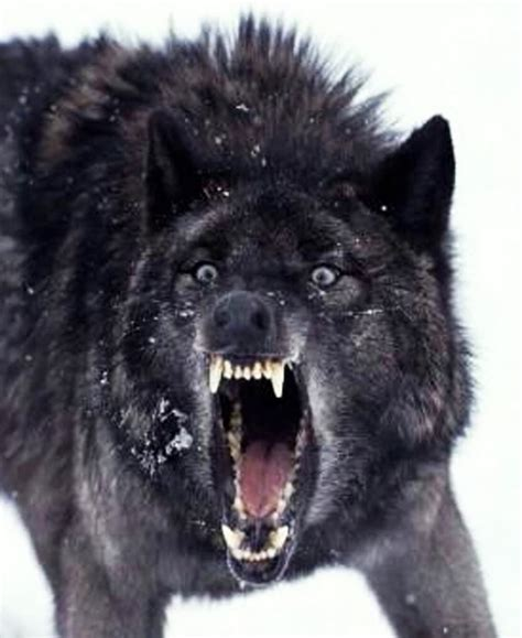 Angry Wolf wolf angry image