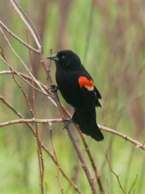 54 best images about red winged blackbird red winged
