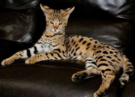 savannah kittens for sale about savannahs savannah home spots of africa