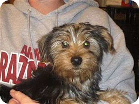 yorkie adoption ny rochester ny yorkie terrier meet ricky a puppy for adoption