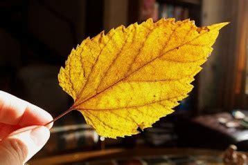 Aplikasi Daun Kering Pressed Leaf penting cara mengolah daun kering untuk kerajinan