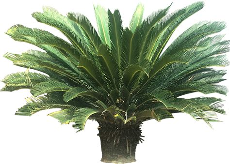 common tropical plants tropical plant pictures cycads