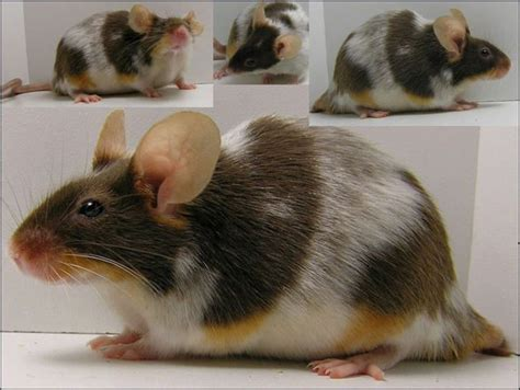 222 best images about rat 17 best images about ratties on hamsters