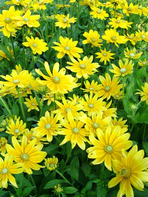 summer flower summer annuals flowers