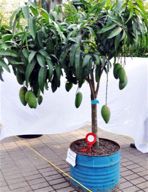 Tanaman Mangga Okyong tanaman buah dalam pot teknik budidaya tabulot mangga