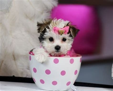 yorkie puppies for sale in albuquerque 1000 ideas about maltipoo puppies for sale on teacup maltipoo maltipoo