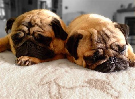 sleeping pills for dogs 62 best images about pug on