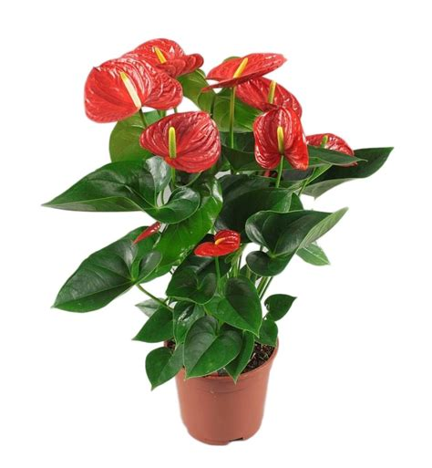 Beautiful Indoor Plants by Anthurium Red Winner Florastore