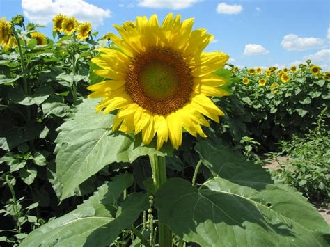 Kansas Sunflower 50 State Flowers 1 Pinterest | kansas sunflower 50 state flowers 1 pinterest