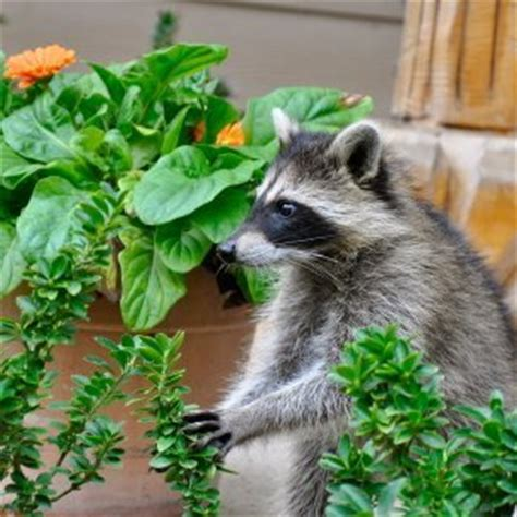 How To Keep Raccoons Out Of Your Garden by Keeping Raccoons Out Of Your Garden Thriftyfun