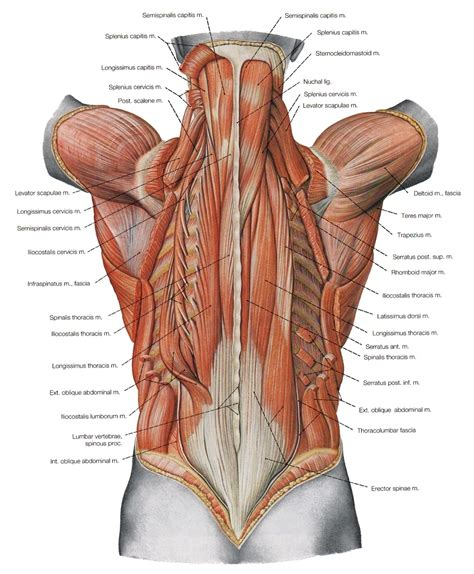 diagram of lower back diagram back diagram back muscles back