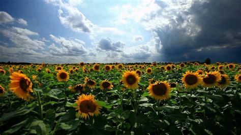 minutesrelax sunflowers youtube
