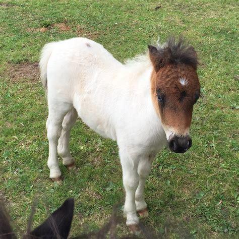 pony at shetland pony classifieds shetland ponies for sale