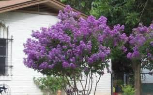 zuni crape myrtle picture gardenality