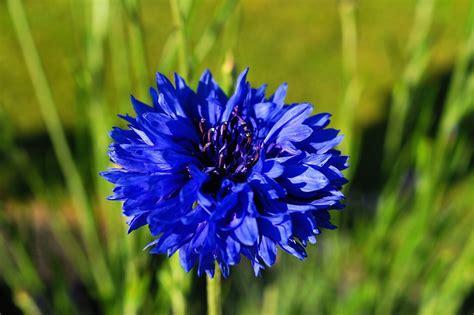 fiordaliso fiore foto gratis fiordaliso fiore immagine gratis su
