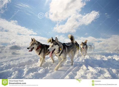 sled breeds sled breed siberian husky stock images image 37029324