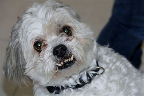 yorkie periodontal disease yorkie news stories pictures products yorkies home
