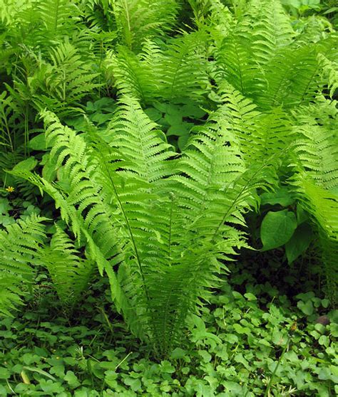 sharonapbio taxonomy plants ferns