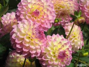 semi cactus flowered dahlias name that plant