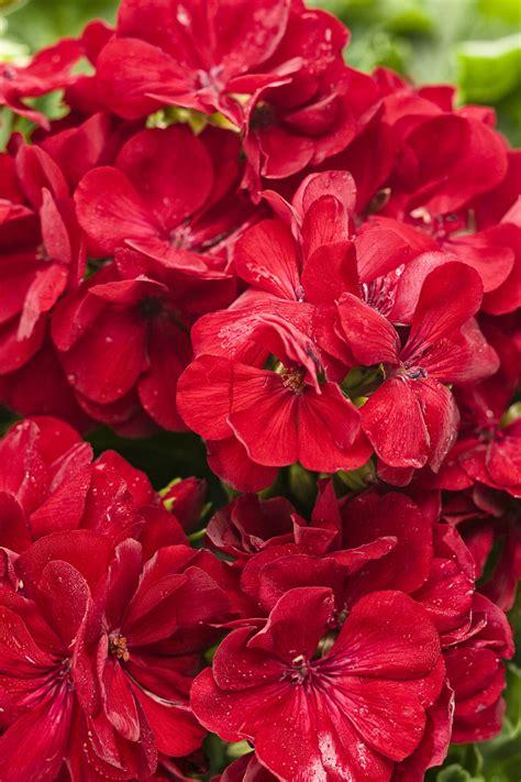boldly dark red geranium pelargonium interspecific