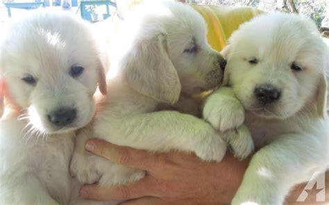 light golden retriever puppies light akc golden retriever puppies for sale for sale in grove city pennsylvania