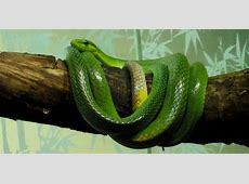 Red-tailed Green Ratsnake Arboreal Snakes