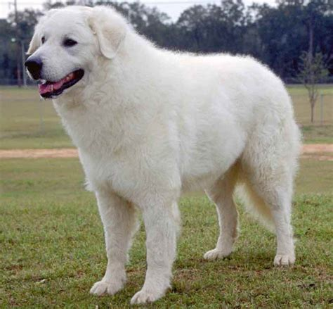 large dogs breeds list pictures to pin on pinsdaddy
