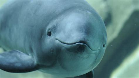 Vancouver aquarium spotlight on porpoises