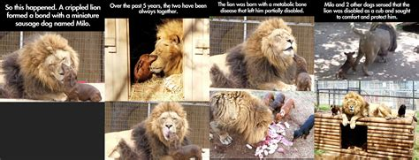 Lion Meme - the gallery for gt lion lioness meme