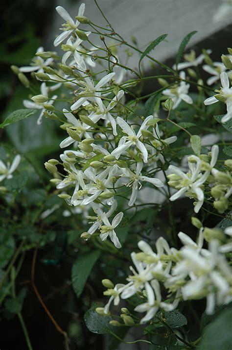 sweet autumn clematis clematis terniflora  inver grove