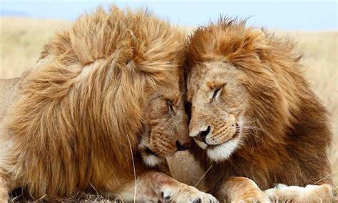 imagenes leones peleando las mejores fotos de leones im 225 genes de leones