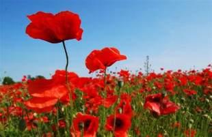 how the poppy came to symbolize world war i smart news